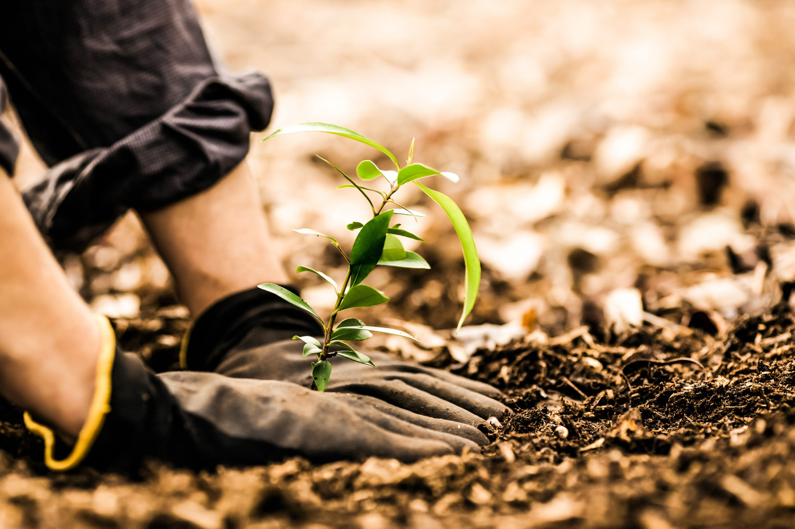 Person planting a tree
